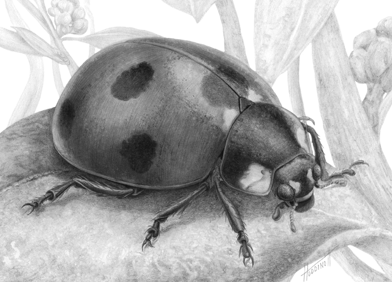 Realistic ladybug drawing - photo#34
